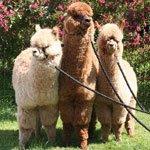 about-alpacas1