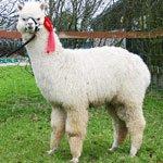 about-alpacas2